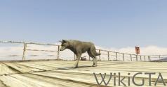 GTAV Coyote.jpg